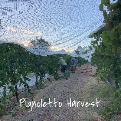 Pignoletto Harvest