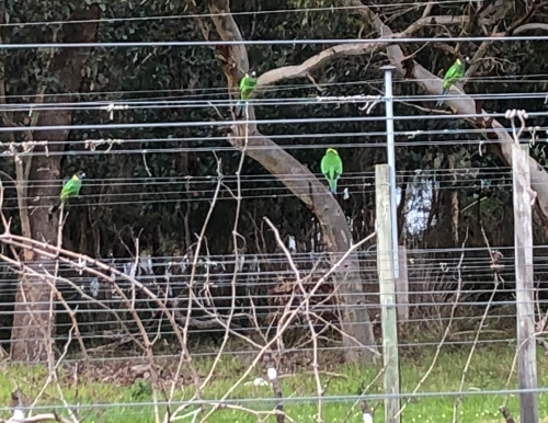 28 Parrots in the Fiano