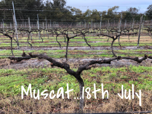 Muscat Vine after pruning