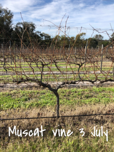 Muscat - before pruning