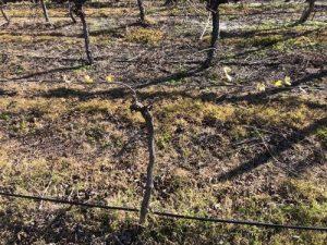 Nebbiolo Vine - cane pruned